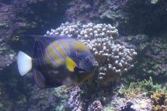 Zwarte vissen met blauwe strepen royalty-vrije stock afbeelding