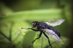 Zwarte vlieg stock afbeelding