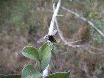 Zwarte vlieg op blad in Swasiland Stock Afbeelding