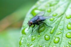 Zwarte vlieg op een nat blad Royalty-vrije Stock Foto