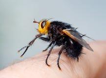 Zwarte vlieg op mijn vinger Royalty-vrije Stock Foto's