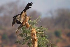 Zwarte vlieger stock fotografie
