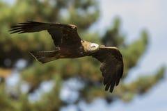 Zwarte vlieger Milvus die migrans tijdens de vlucht jagen Royalty-vrije Stock Foto's