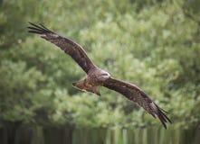 Zwarte Vlieger Milvus migrans royalty-vrije stock foto