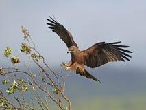 Zwarte vlieger (milvus migrans) Royalty-vrije Stock Foto