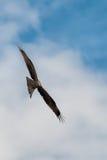 Zwarte Vlieger Milvus migrans tijdens de vlucht Visserij Stock Foto's
