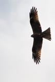 Zwarte Vlieger Milvus migrans tijdens de vlucht Visserij Stock Foto
