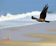 Zwarte Vlieger tijdens de vlucht Royalty-vrije Stock Afbeeldingen
