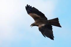 Zwarte Vlieger tijdens de vlucht Stock Afbeeldingen