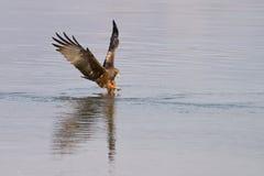 Zwarte vlieger visserij Stock Fotografie