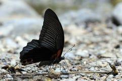 Zwarte vlinder. Stock Foto's