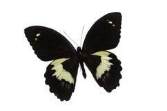 Zwarte Vlinder 4 Royalty-vrije Stock Afbeeldingen