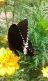 Zwarte Vlinder Royalty-vrije Stock Foto's