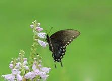 Zwarte vlinder op bloemen stock foto