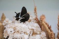 Zwarte Vlinder op dryflower Royalty-vrije Stock Afbeeldingen