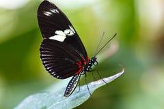 Zwarte vlinder op een blad Stock Afbeelding