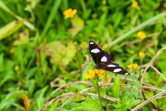 Zwarte vlinder op gele bloem in het gras royalty-vrije stock afbeelding