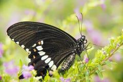 Zwarte Vlinder Swallowtail stock afbeelding