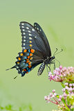 Zwarte Vlinder Swallowtail Stock Foto's