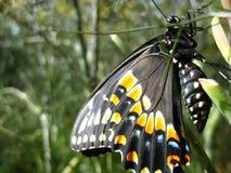Zwarte Vlinder Swallowtail Stock Foto
