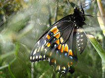 Zwarte Vlinder Swallowtail Stock Fotografie