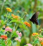 Zwarte Vlinder Swallowtail Royalty-vrije Stock Afbeeldingen