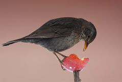 Zwarte vogel Royalty-vrije Stock Foto's
