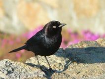 Zwarte vogel Stock Afbeeldingen