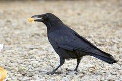 Zwarte vogel stock foto
