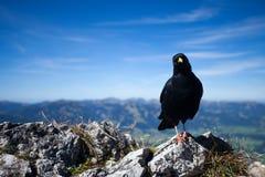 Zwarte Vogel in de Alpen Stock Fotografie