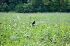 Zwarte vogel die op tak eten Stock Afbeeldingen