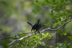 Zwarte Vogel die Zijn Jongelui beschermen Stock Afbeelding