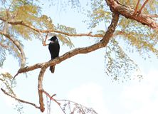 Zwarte vogel in een tak stock afbeeldingen