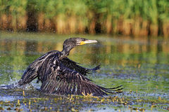 Zwarte Vogel en duizendenplons royalty-vrije stock foto's