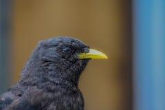 Zwarte vogel met gele piek stock afbeeldingen