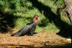 Zwarte vogel met rood masker die ter plaatse rusten royalty-vrije stock afbeeldingen