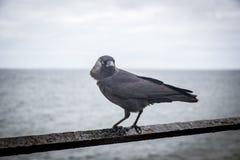Zwarte vogel op de roestige omheining, in Schil, het Eiland Man stock fotografie