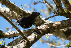 Zwarte vogel van onderaan op boomtak Stock Afbeeldingen