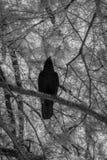 Zwarte Vogels bij Zwaanmeer en Iris Gardens Stock Afbeeldingen