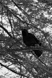 Zwarte Vogels bij Zwaanmeer en Iris Gardens Stock Foto's