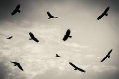 Zwarte vogels in de bewolkte hemel, Moerasplunderaar, roofvogel stock afbeeldingen