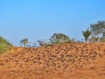 Zwarte vogels van Caatinga, Brazilië Royalty-vrije Stock Foto's