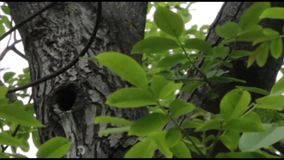 Zwarte vogelvliegen in de holte stock footage