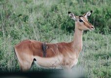 Zwarte vogelzitting op een mooi jong hert in de struiken royalty-vrije stock afbeeldingen