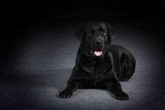 Zwarte vriendschappelijke hondlabrador Stock Foto's