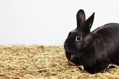 Zwarte vrouwelijke konijnzitting op hooi Stock Afbeeldingen