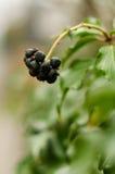 zwarte vruchten Royalty-vrije Stock Afbeeldingen