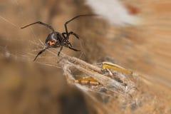Zwarte weduwespin en vangst De zwarte weduwen zijn bekende die spinnen door het gekleurde, zandloper-vormige teken op hun buiken  Royalty-vrije Stock Fotografie