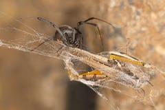 Zwarte weduwespin en vangst De zwarte weduwen zijn bekende die spinnen door het gekleurde, zandloper-vormige teken op hun buiken  Stock Fotografie