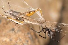 Zwarte weduwespin en vangst De zwarte weduwen zijn bekende die spinnen door het gekleurde, zandloper-vormige teken op hun buiken  Stock Foto